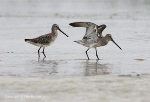 Asian Dowitcher - photo by Nilo Arribas Jr.
