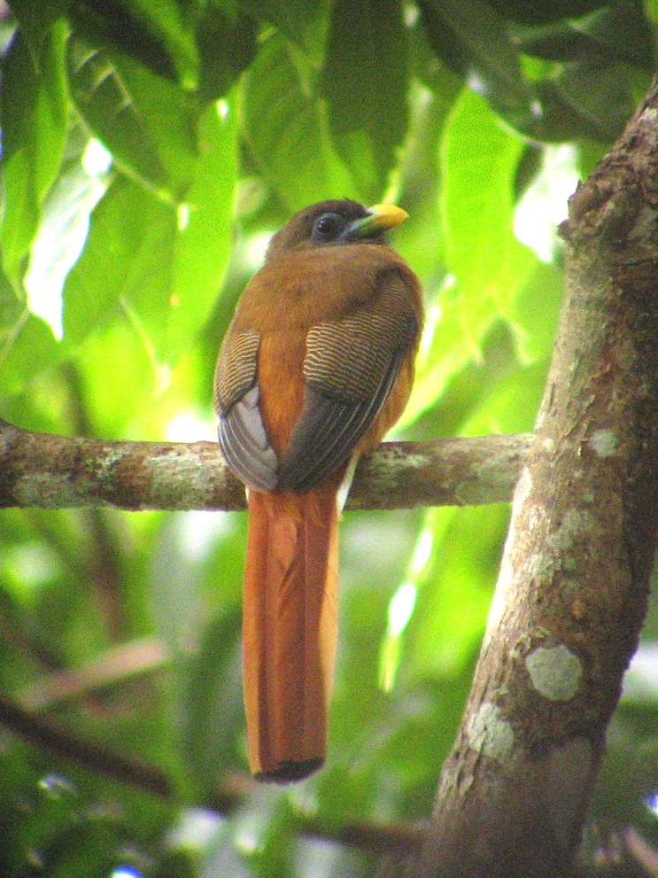 Philippine Trogon by Carmela Balcazar