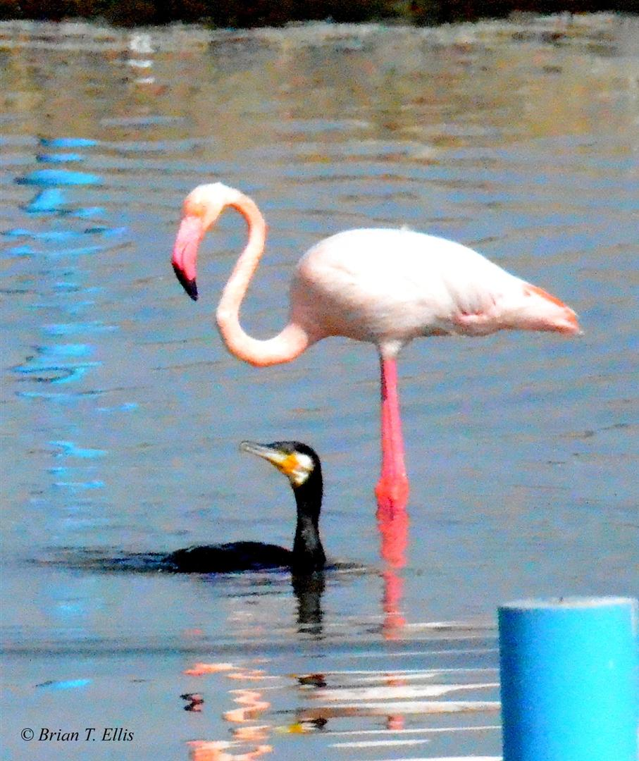 Greater Cormorant and Flamingo