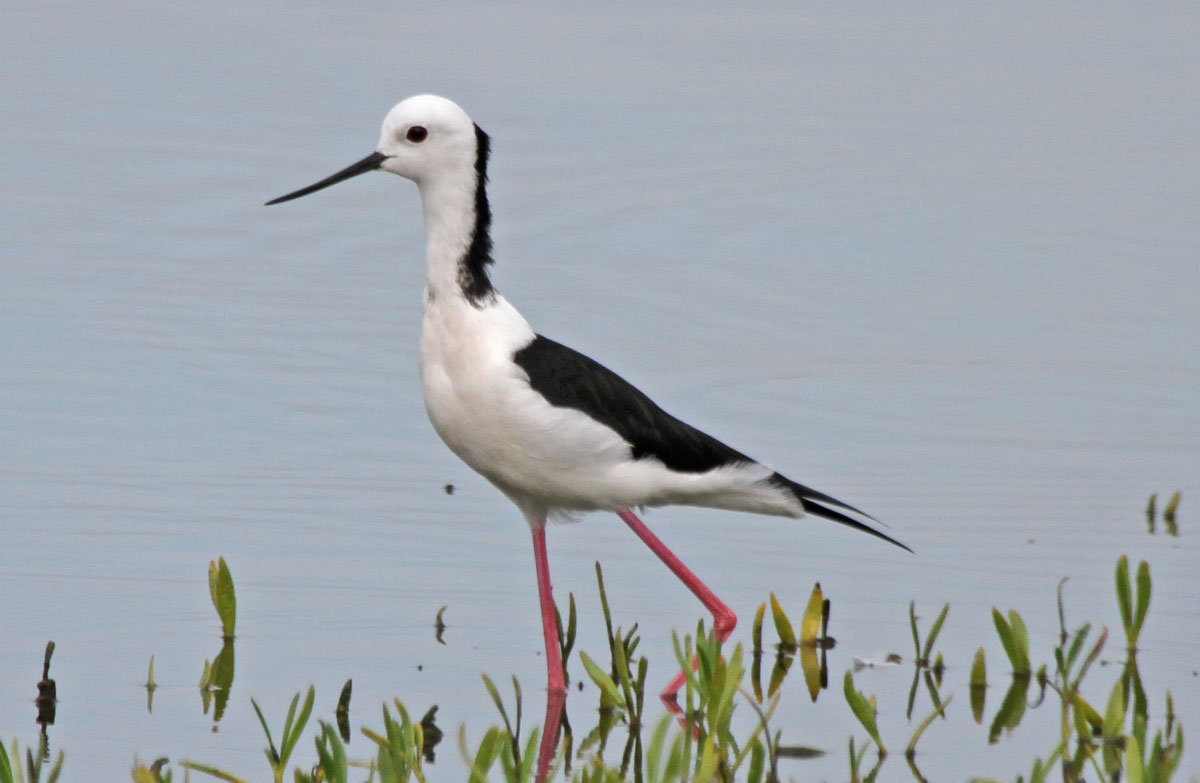 Black-winged Stilt. Photo by Pete Simpson.