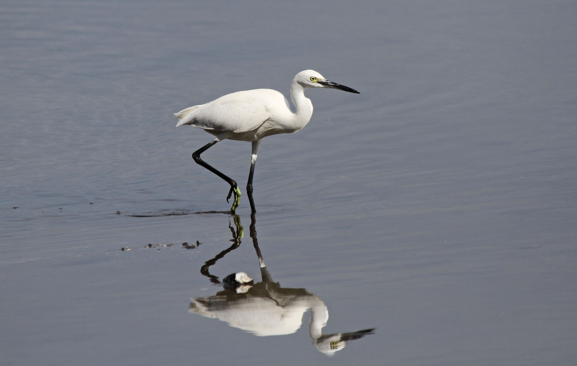 Little Egret. Photo by Pete Simpson.