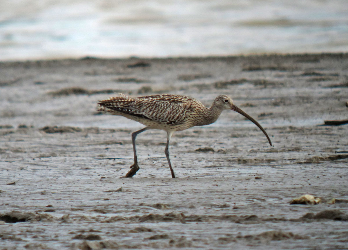 Far Eastern Curlew. Photo by Pete Simpson.