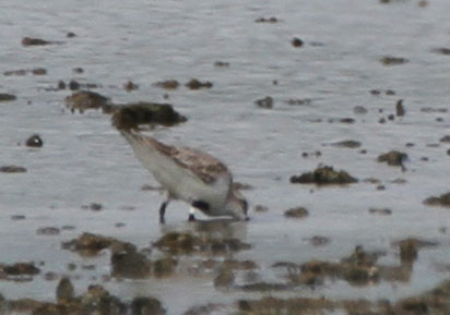Flagged Rufous-necked Stint. Photo by Pete Simpson.