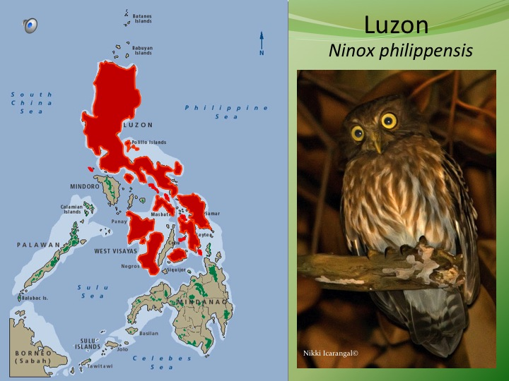 Luzon and most Visayan populations share similar song and plumage.