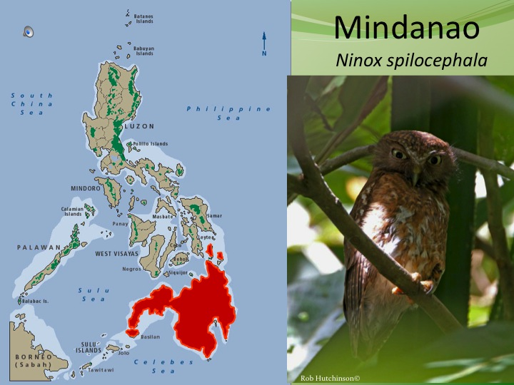 Mindanao  spilocephalus has very different song and moderately different plumage.Split and elevated to a new species. �