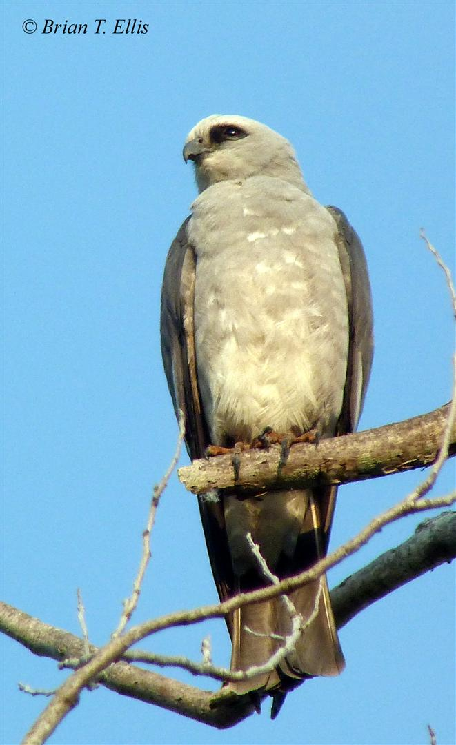 Mississippi Kite. Photo by Brian Ellis.