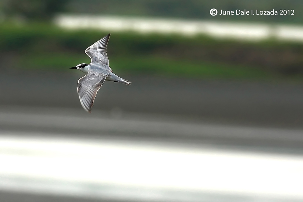 whiskered tern (1)