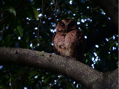 Illustration 2: The adult Philippine Scops-Owl. Photo by Jops Josef.