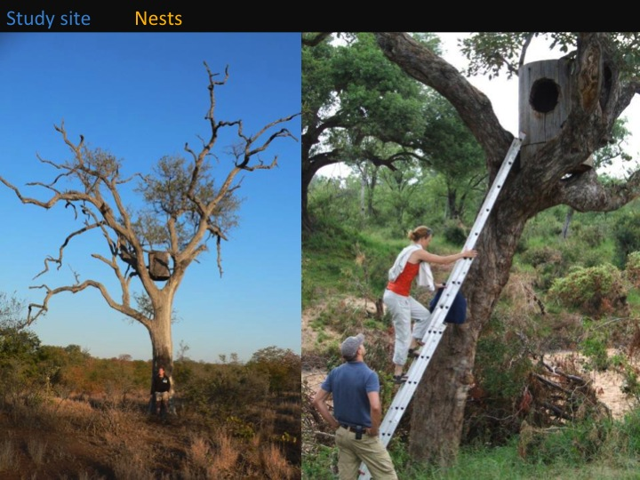 Kate Meares, 6th International Hornbill Conference, slide 9 Artificial nests are positioned between 3 and 9 m above ground in the forks of large trees. This to withstand heavy winds, elephants etc. Ideally nests should have suitable branches close to the entrance to allow for easy access by individuals (birds and humans!).  �