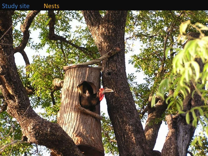 Kate Meares, 6th International Hornbill Conference, slide 10 We installed perches in front of the nest hole to allow the male to perch easily there and feed the female incubating inside. �