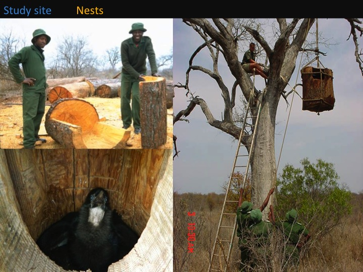 Kate Meares, 6th International Hornbill Conference, slide 11 Artificial nest are constructed from hollowed out Eucalyptus logs. Logs are split in two before being hollowed out, the two faces then rejoined using metal bolts . Nests were installed in the early days of the Project and wouldn't have been possible without the help of Bruce Macdonald who sourced the huge logs for us, as well as Klaserie rangers, and reserve wardens for helping with the logistics of getting the heavy nests into the trees.  What makes a nest site a good one? �