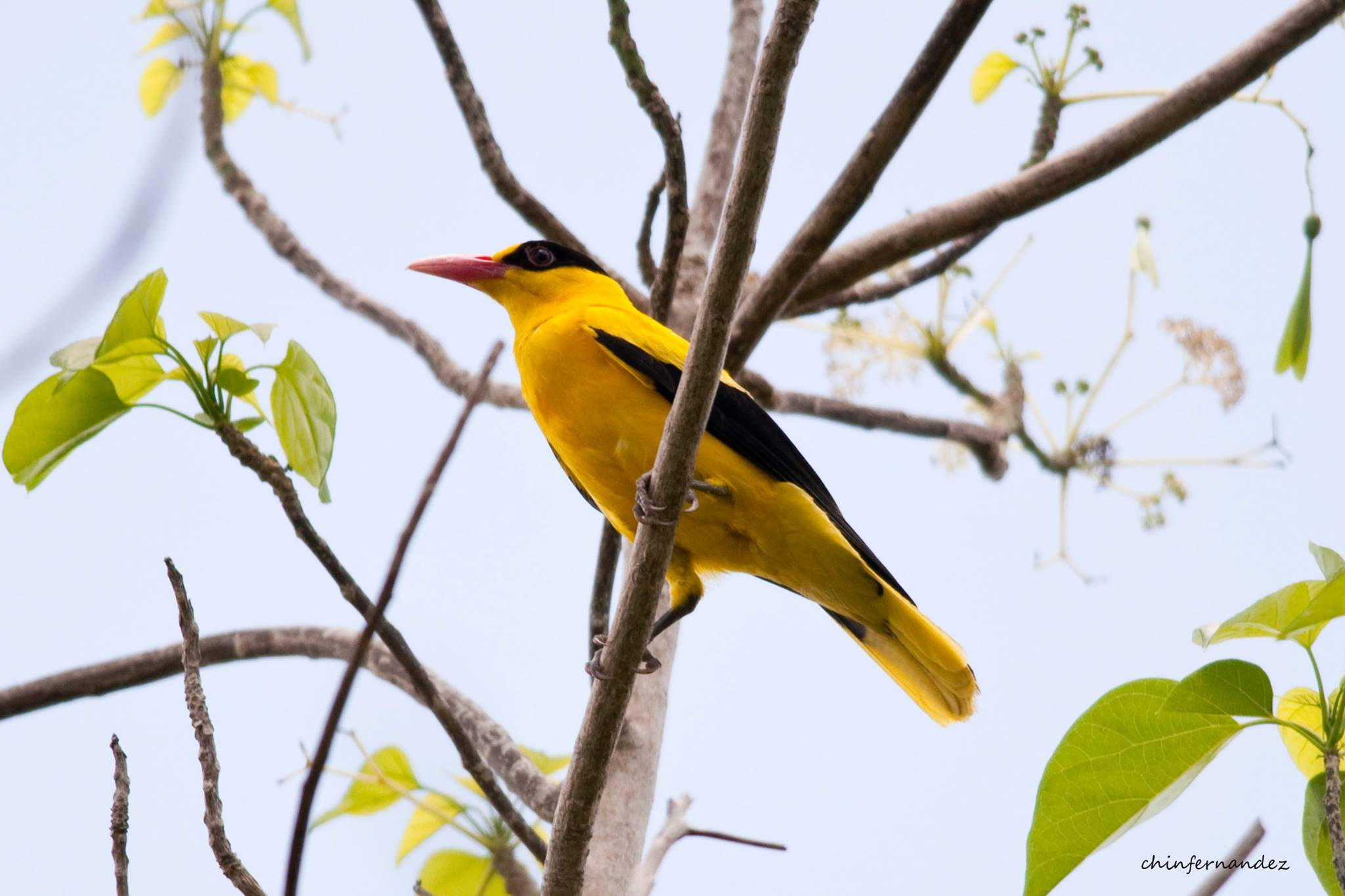 The brightly-colored Black-naped Oriole can be quite difficult to find even if it is bright yellow. Photo by Chin Fernandez.