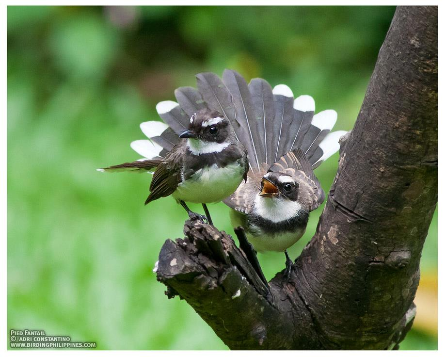 A pair of Pied Fantails fanning their tails! Photo by Adri Constantino.