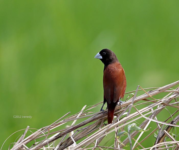 Chestnut Munia, the former Philippine National Bird
