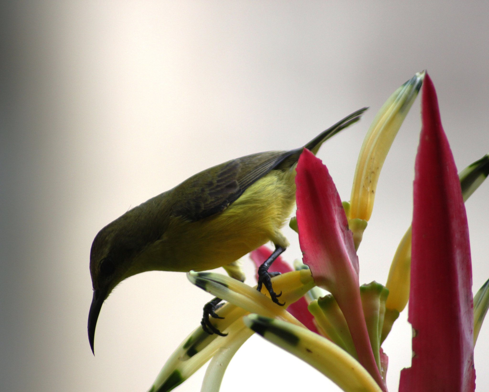 Female Olive-backed Sunbird feeding on heliconia flowers. Photo by Angie Tan-Carlsen.