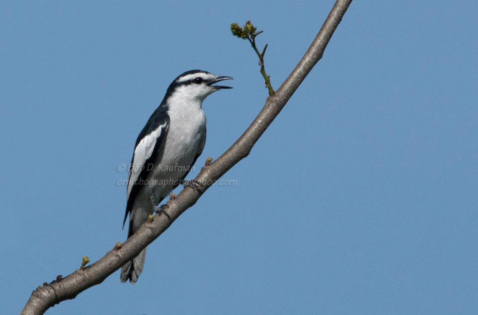 Keep an eye out for another black and white city bird, the Pied Triller. Photo by Bob Kaufman.