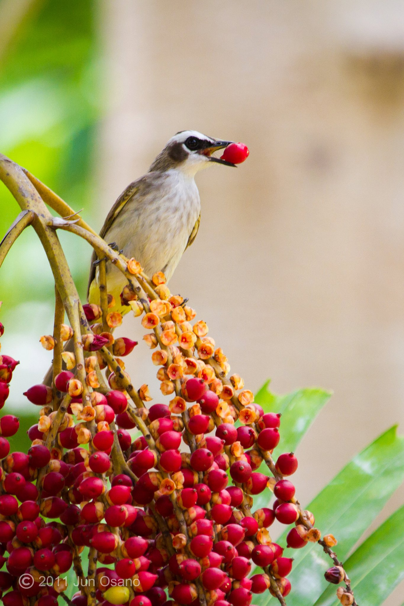YVBs like feeding on ripe berries! Photo by Jun Osano.