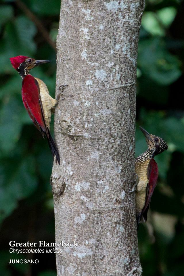 A pair of Greater Flamebacks looking a bit like Woody Woodpecker. Photo by Jun Osano.
