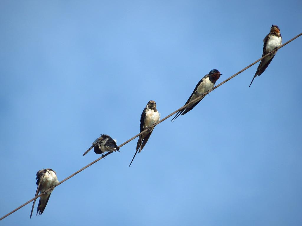 Swallows can usually be seen perched on electric wires. Photo by Vincent Lao.