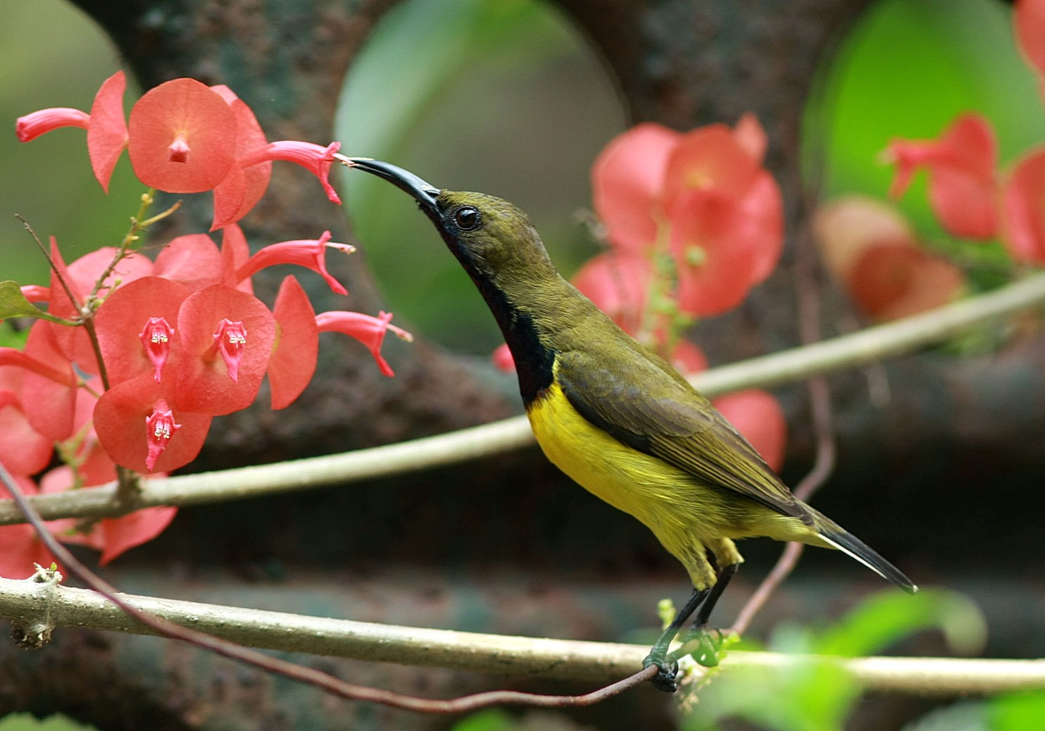 A male Olive-backed Sunbird enjoying the nectar in birder Lydia's garden. Photo by Lydia Robledo.
