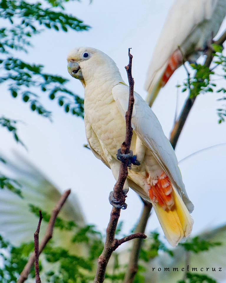 Philippine Cockatoo. Photo by Rommel Cruz.