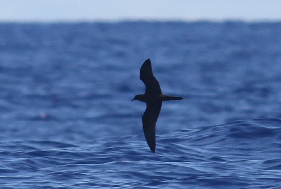 Bulwer's Petrel showing the characteristic flight profile - Photo by Paul Bourdin