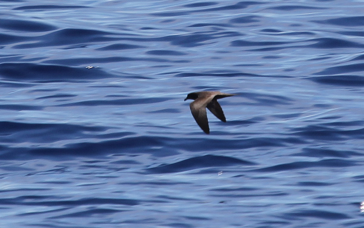 Bulwer's Petrel showing the upperwing pattern - Photo by Christian Perez