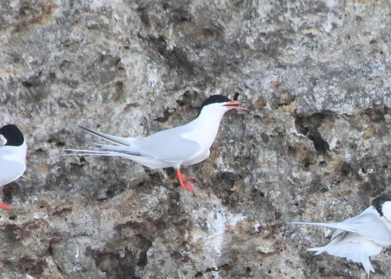 Roseate Tern - Photo by Christian Perez