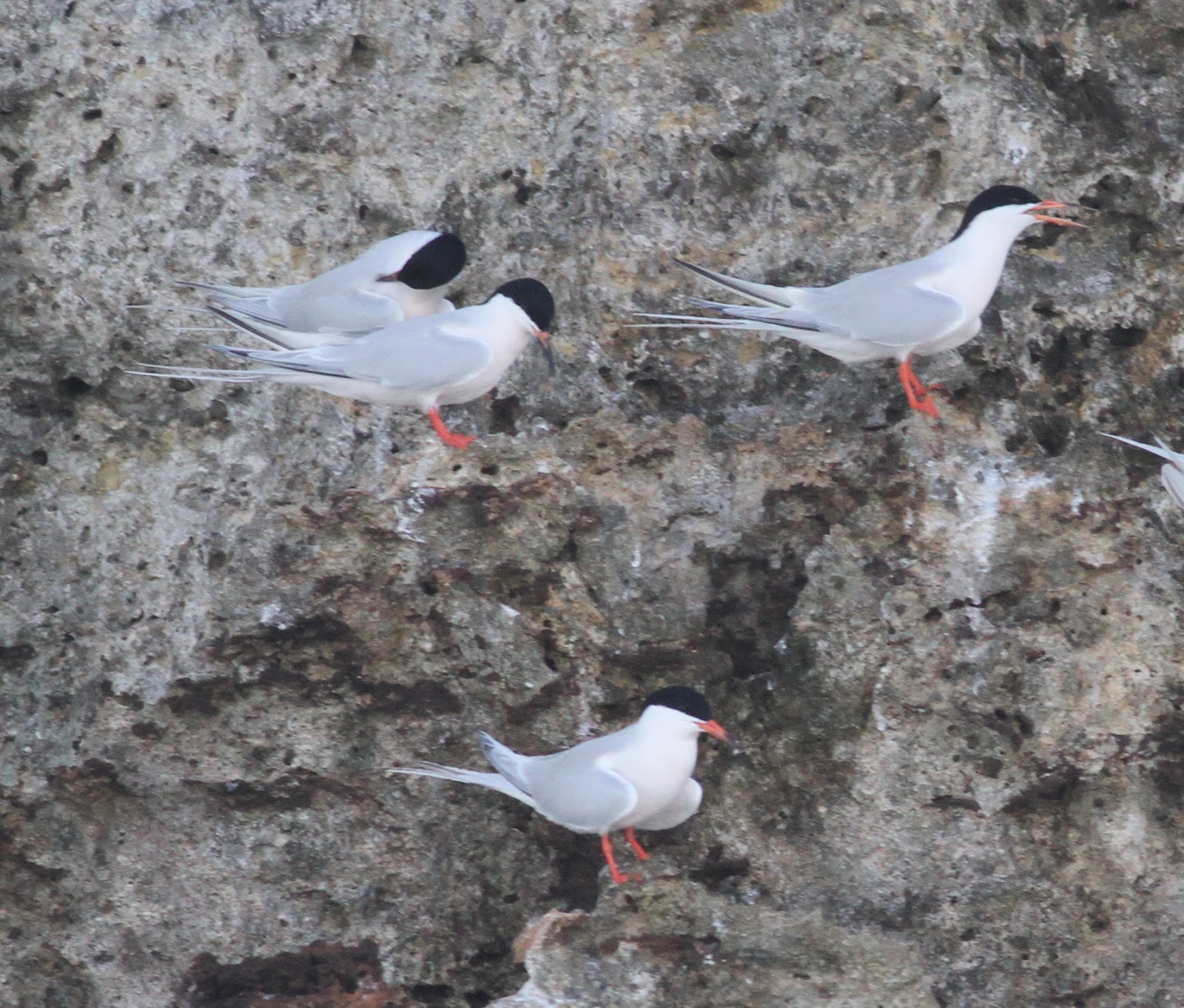 Roseate Terns - Photo by Pete Simpson