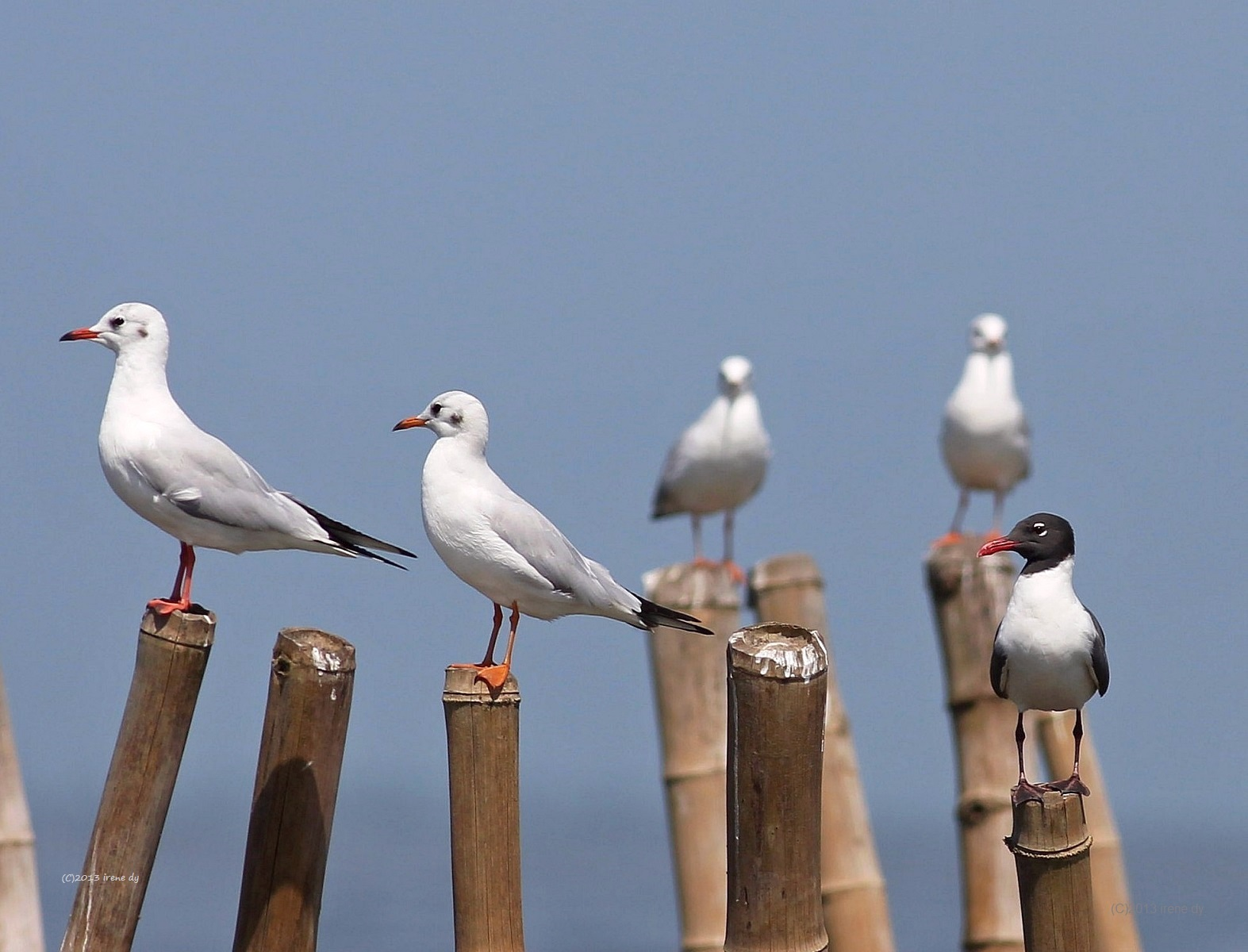 Laughing Gull (far right) among Black-headed Gulls in Balanga, Bataan.