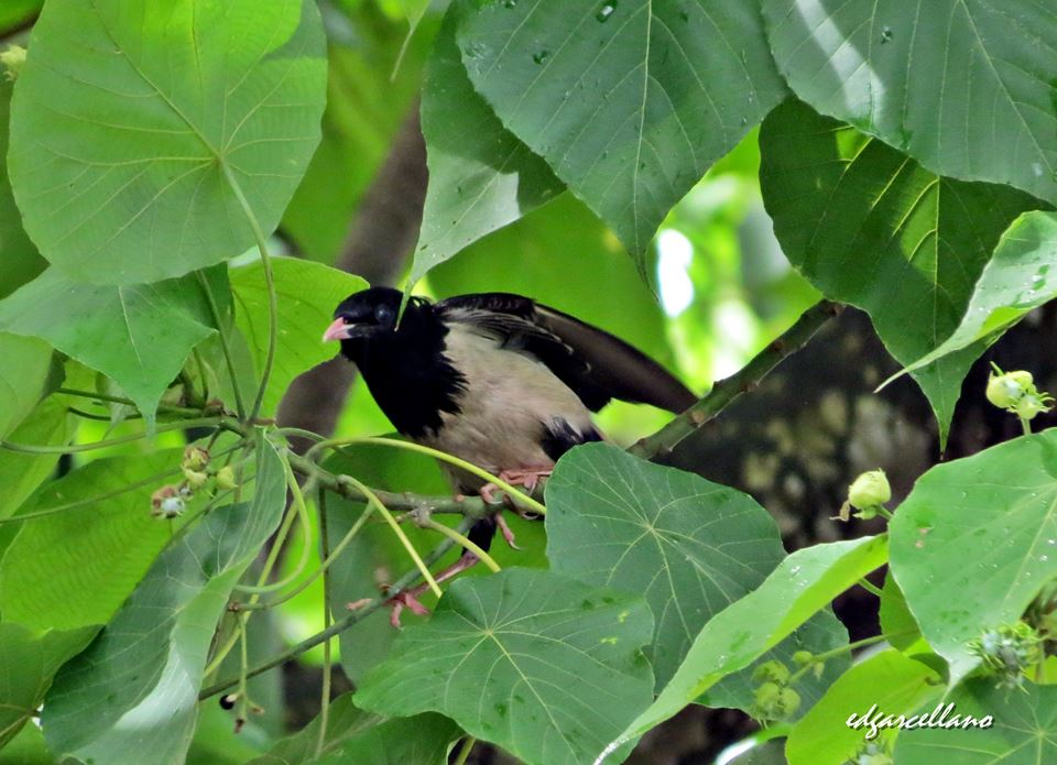 Rosy Starling in Palawan. Photo by Ed Garcellano