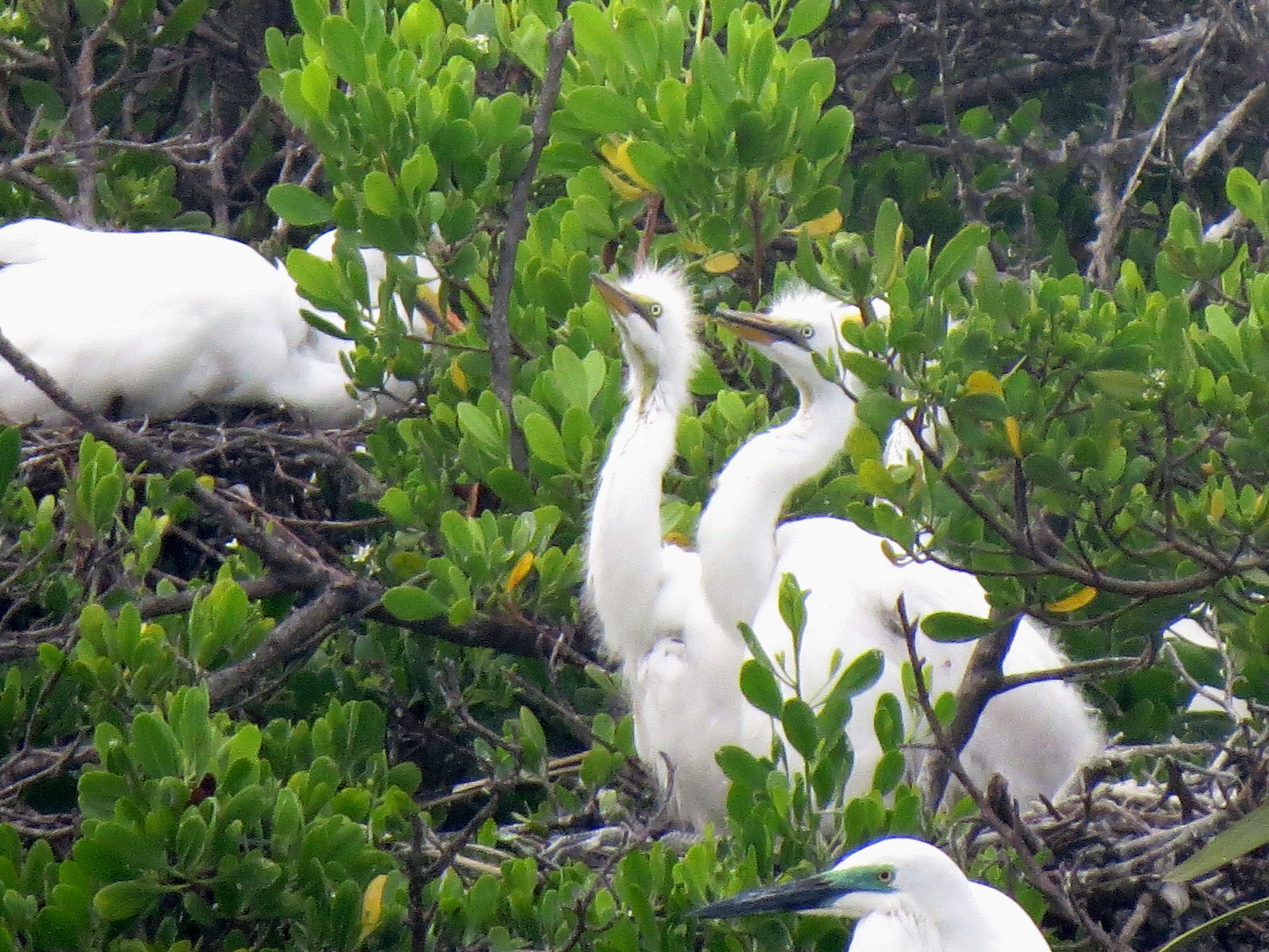 Great Egret chicks in Zamboanga. Photo by Maia Tanedo