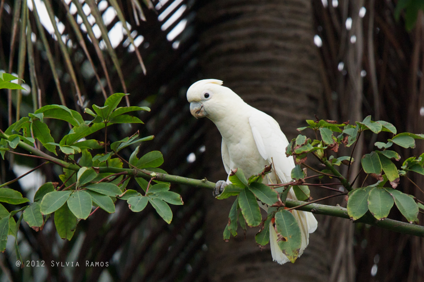 Philippine Cockatoo. Photo by Sylvia Ramos.