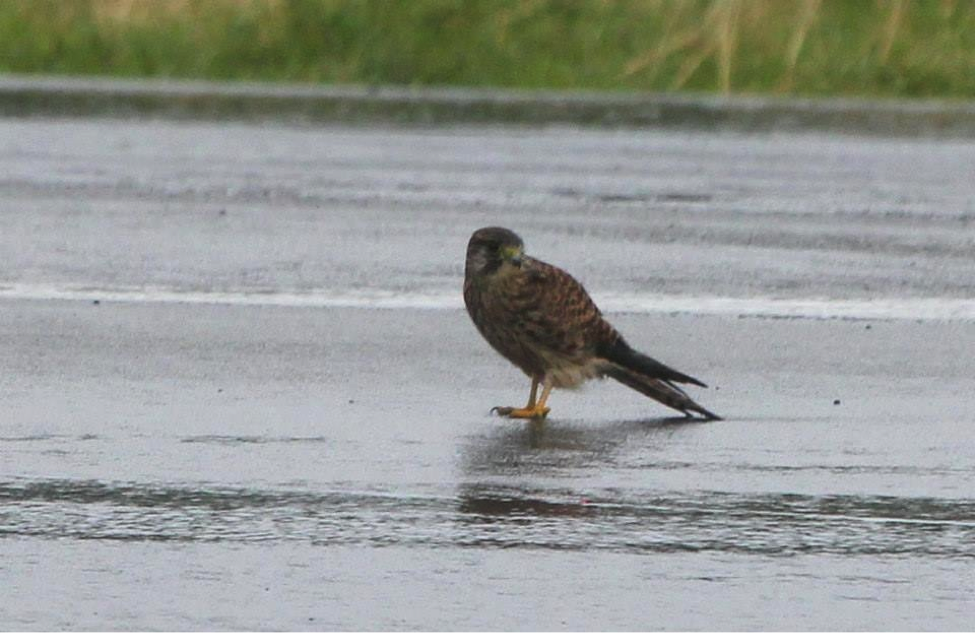 Wet and tired Common Kestrel on the runway of Basco Airport. Photo by Christian Perez.