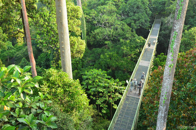 Canopy walk birding in Rainforest Discovery Center, Sepilok, Sabah.
