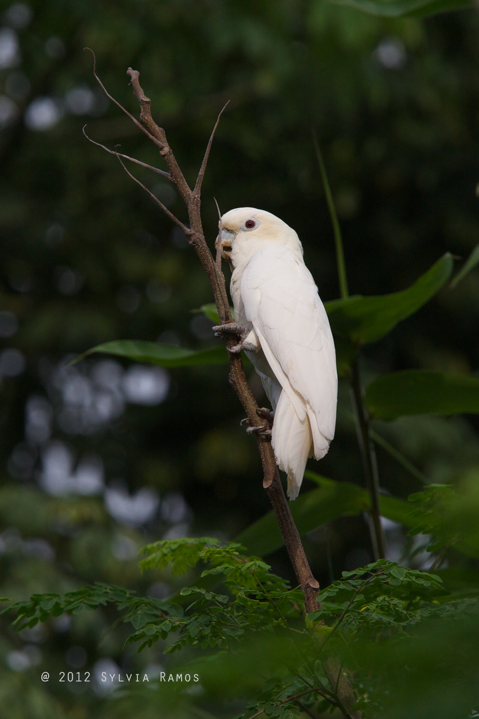 This is a female Philippine Cockatoo. Photo by Sylvia Ramos.