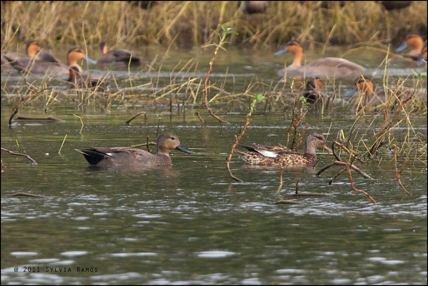 First photo record of Gadwall in the Philippines. Photo by Sylvia Ramos.