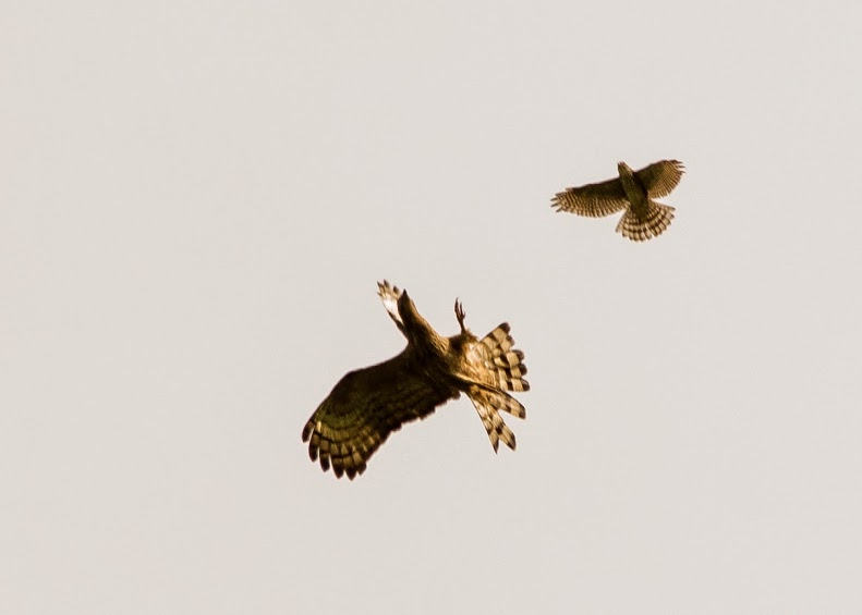The larger Oriental Honey-Buzzard raises its talons towards the smaller Besra. Photo by Jops Josef