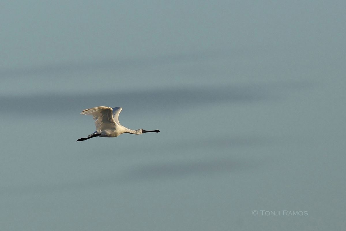 Photo of one of the Black-faced Spoonbills in flight. Photo by Tonji Ramos