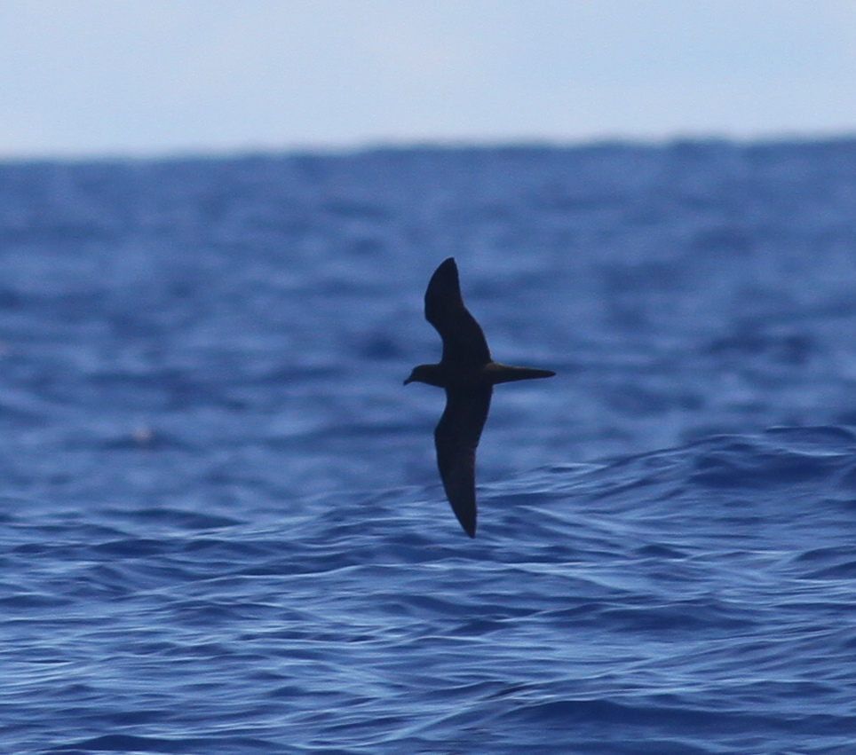 Bulwer's Petrel by Paul Bourdin