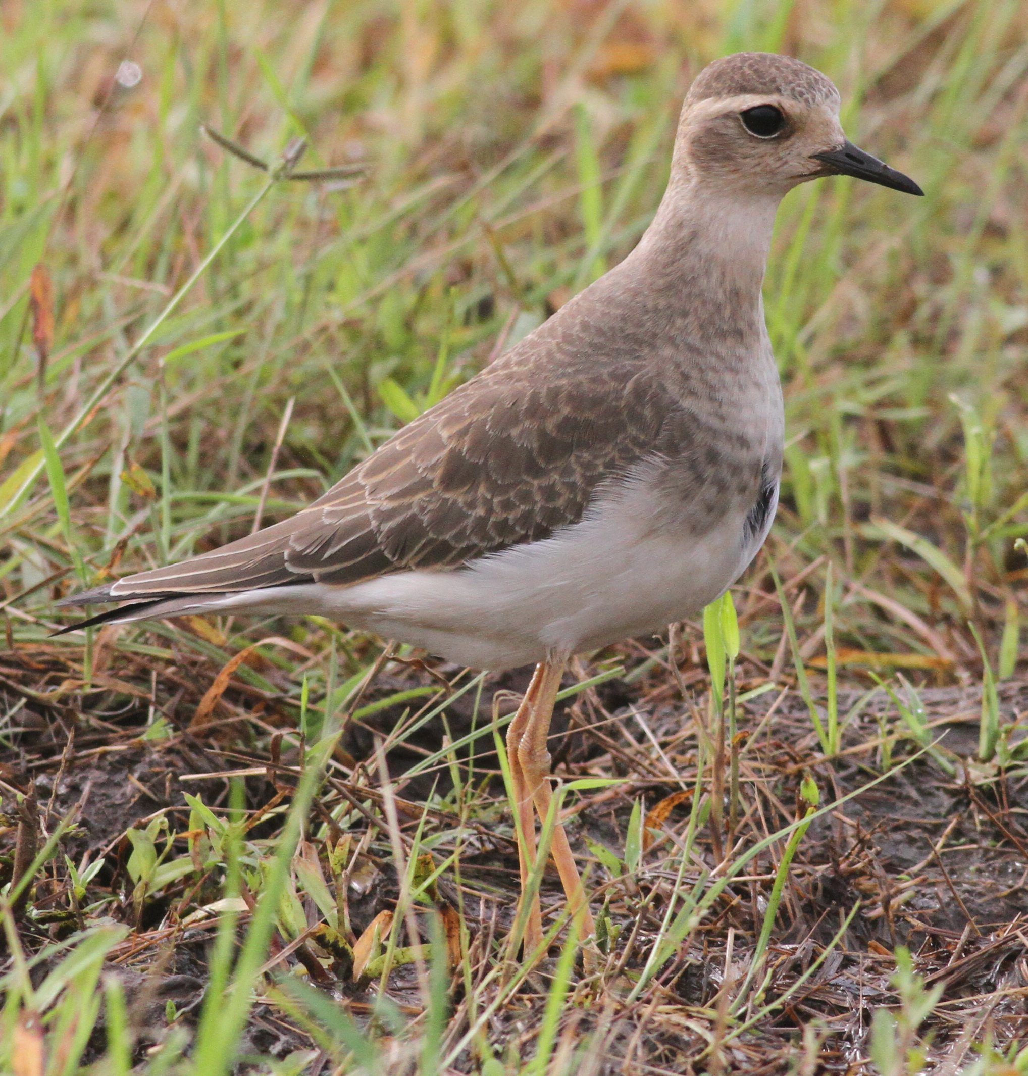 Oriental Plover by Paul Bourdin