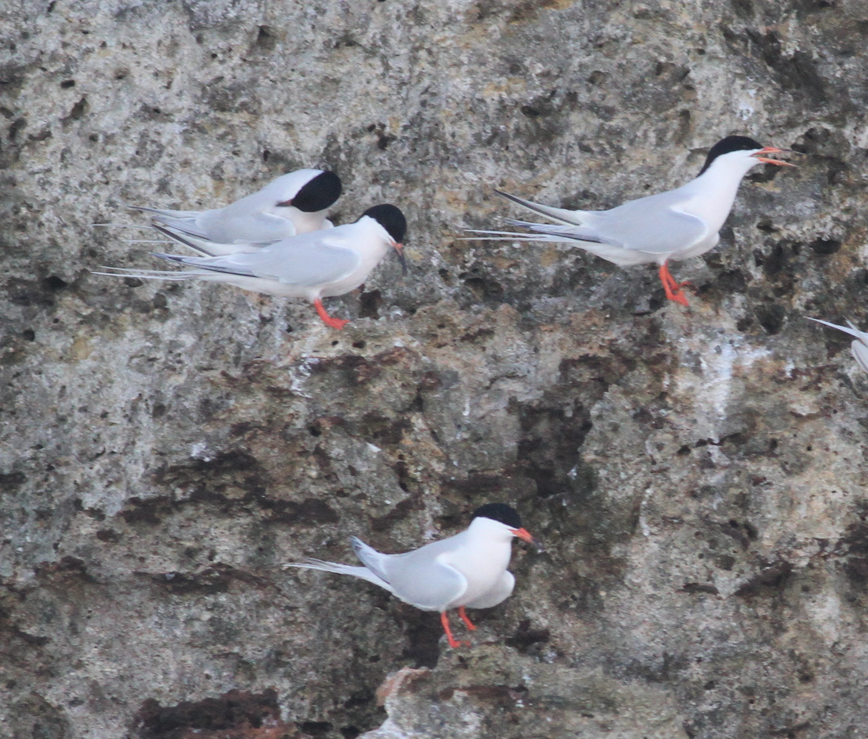 Roseate Terns by Paul Bourdin