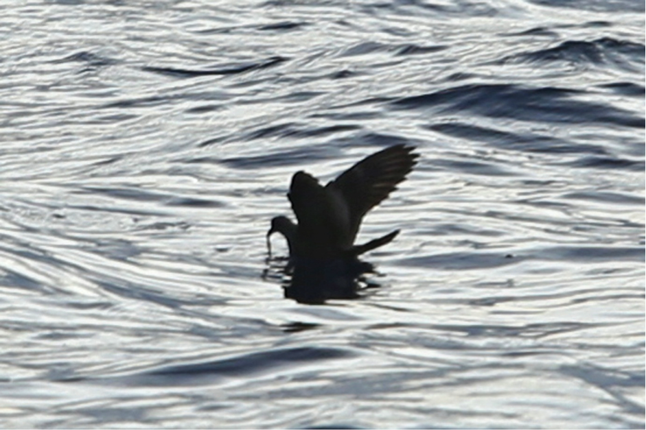 Swinhoe's Storm-Petrel by Rob Hutchinson. Note the pale upper-wing covert bar, inconspicuous pale flash at base of the outer primaries (pale bases to primary feather shafts) and very broad outer wing compared with the inner wing.