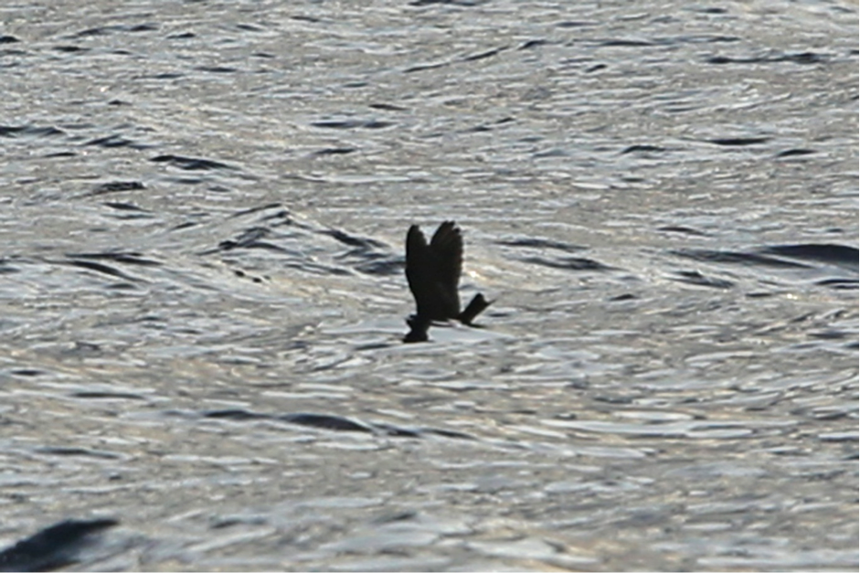 Swinhoe's Storm-Petrel by Rob Hutchinson. Note the  shallow forked  on closed tail and wings held high above the water.