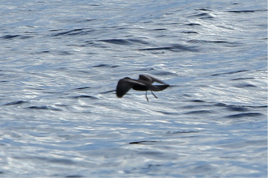 Swinhoe's Storm-Petrel by Rob Hutchinson. Note the pale upper-wing covert bar and tail rather square when spread.