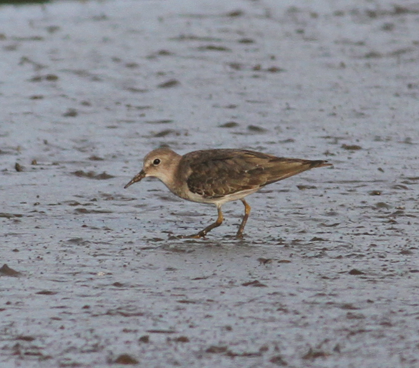 Temninck's Stint by Paul Bourdin