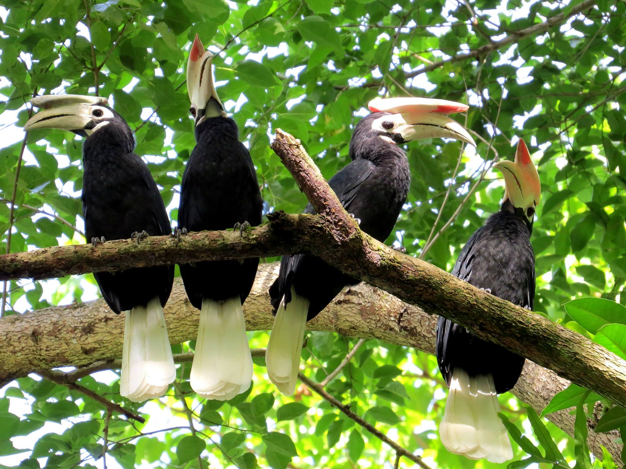 Palawan Hornbills by Jamie Dichaves. Jamie is the Resort Naturalist for El Nido Resorts – Lagen Island.