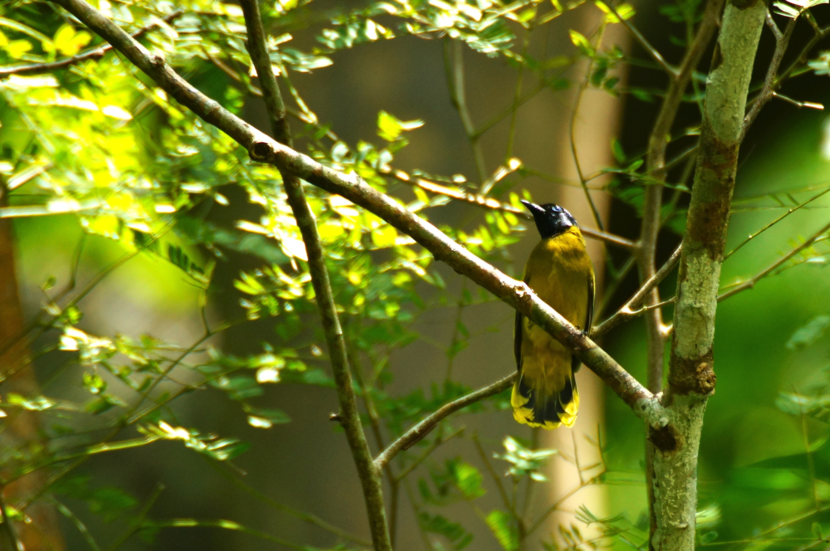 Black-headed bulbul.