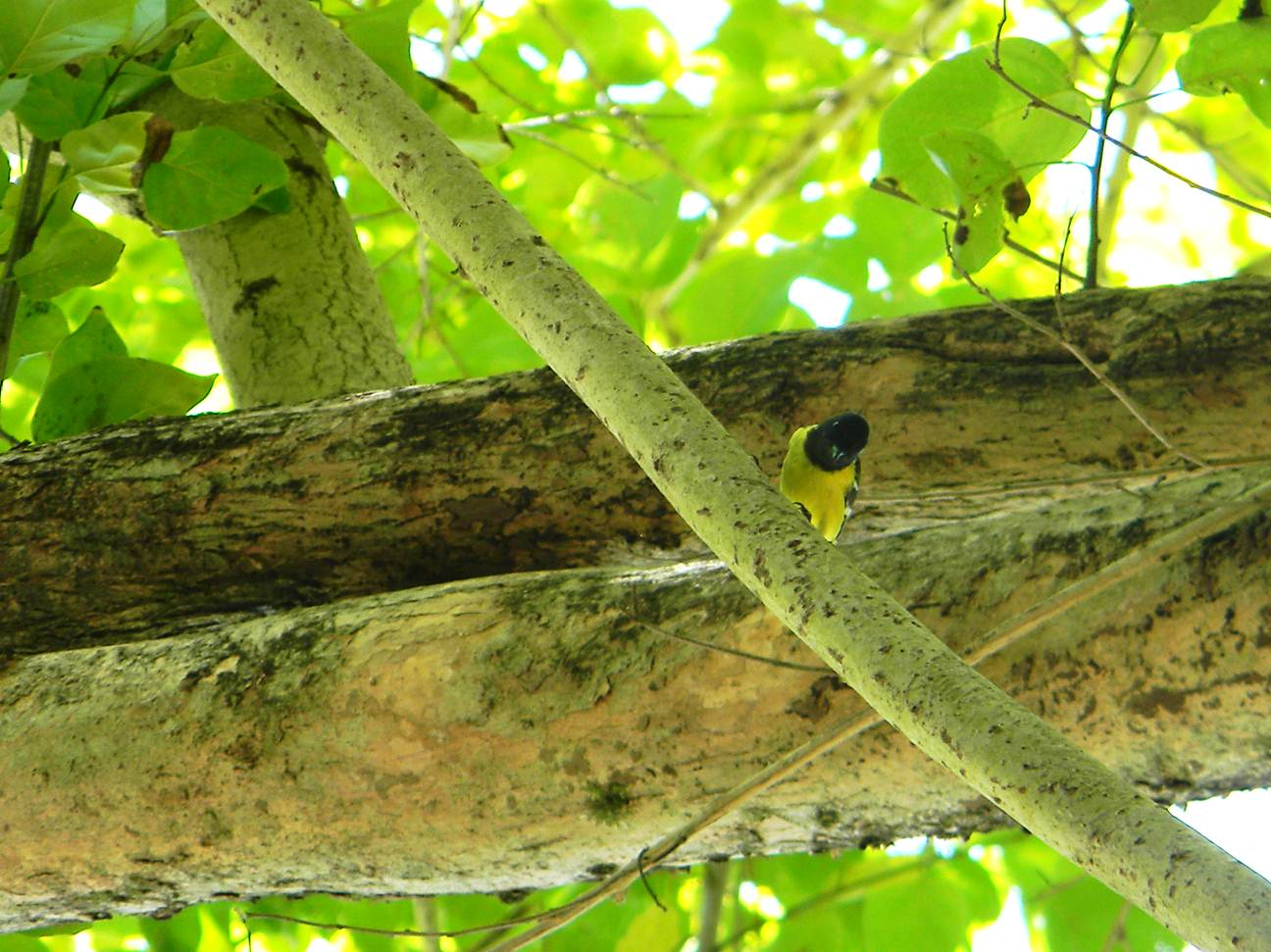 One of the most active birds in Lagen: The Palawan Tit