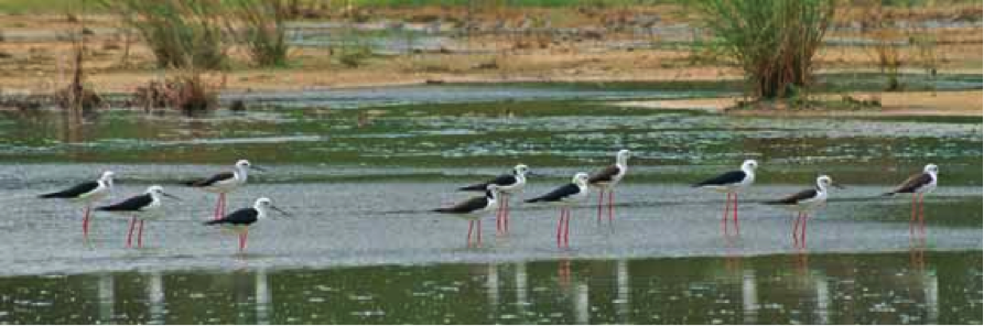 Six out of a flock of eleven Black-winged Stilts showing more or less extensive black nuchal markings and white heads, Pulau Burung, Penang, Malaysia, 25 October 2007. Photo by David Bakewell (in BirdingASIA letter).